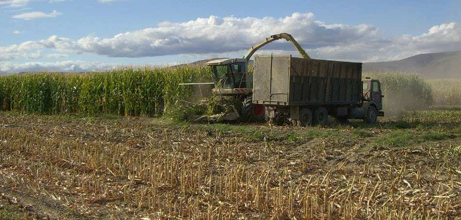 Harvesting a corn field crop.